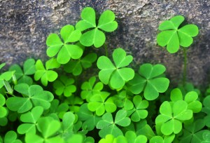 Background of lush green clover leaves
