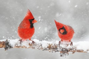 Male Northern Cardinals.