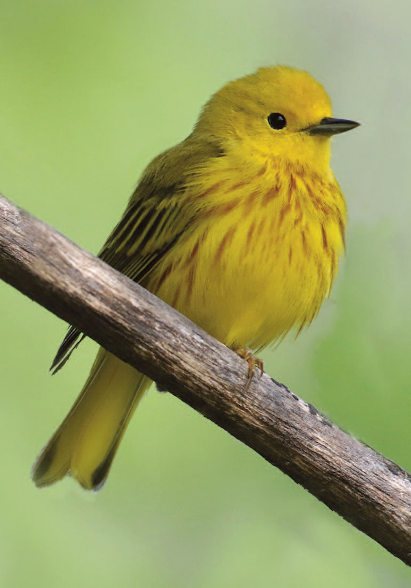 Yellow warbler, male.