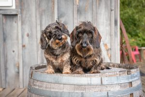 Pups welcome guests at Long Dog Winery.